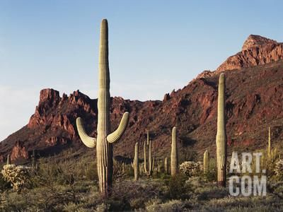 Organ Pipe Cactus Nm, Saguaro Cacti in the Ajo Mountains Photographic Print by Christopher Talbot Frank at Art.com