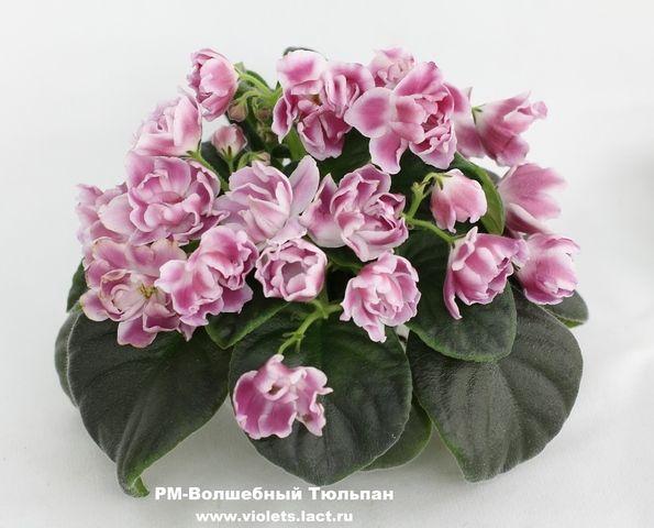РМ-Волшебный Тюльпан, детка Пример цветения на фото из ...