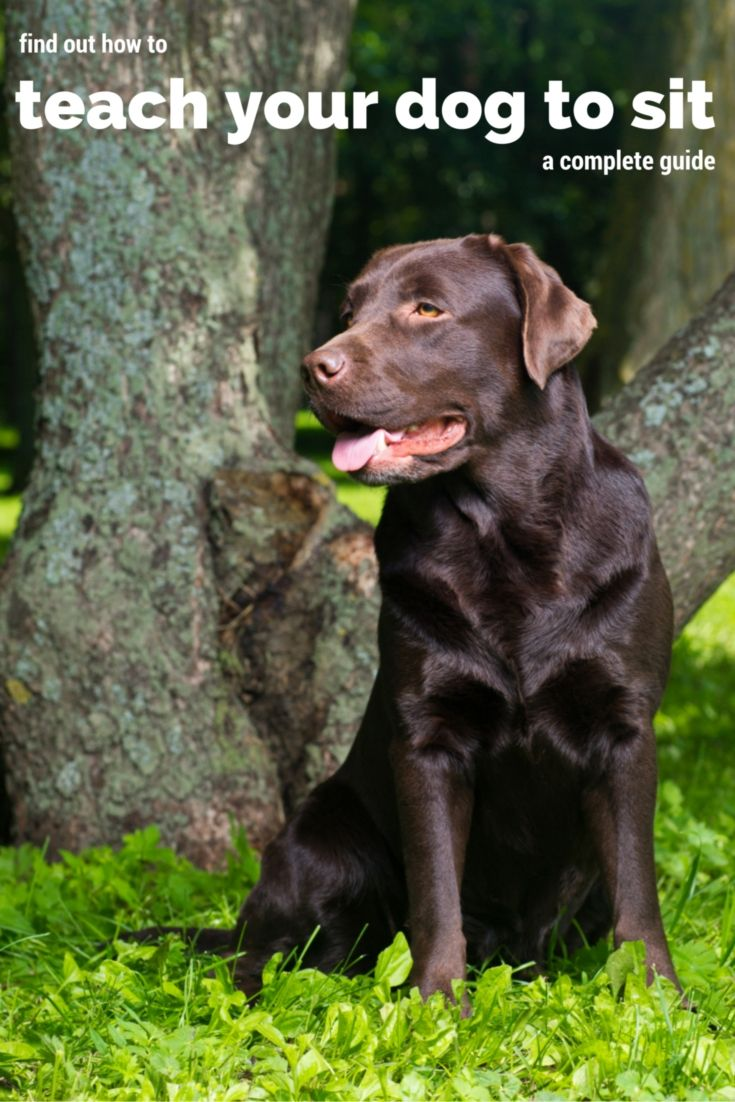 How To Train Your Lab To Sit Training Your Puppy Dog Training