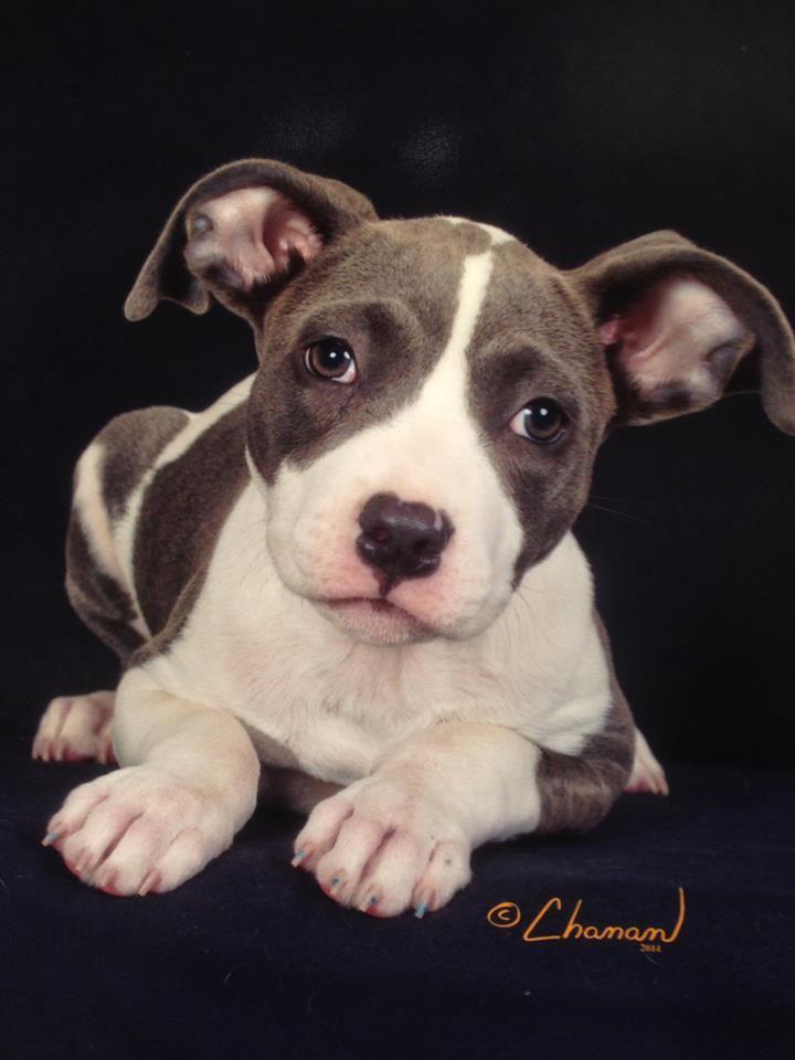Andi's professional photo. Dogs, Animals, Pitbulls
