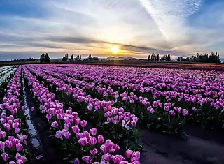 خلفيات طبيعة خلابة وساحرة زهور التوليب في هولندا Drawings Artworks Outdoor Farmland Vineyard