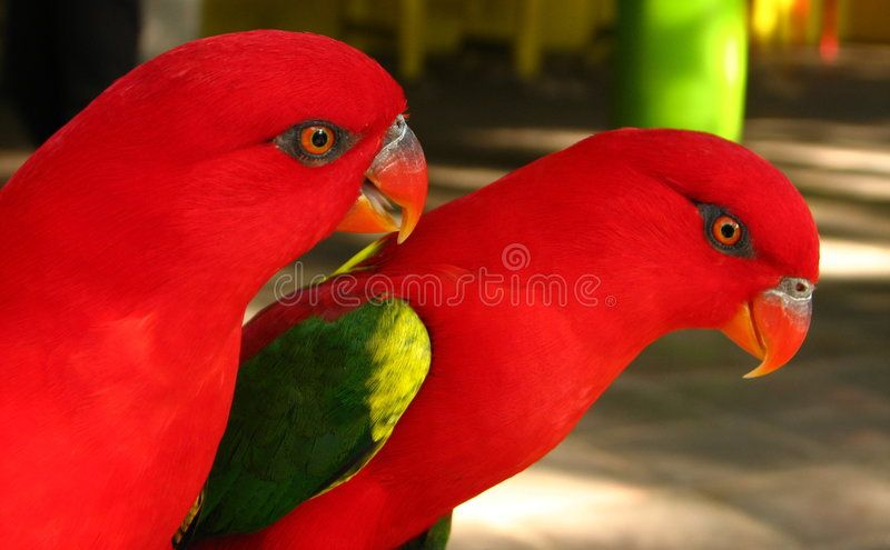 Red Parrot Pair. At Manila Zoo ,