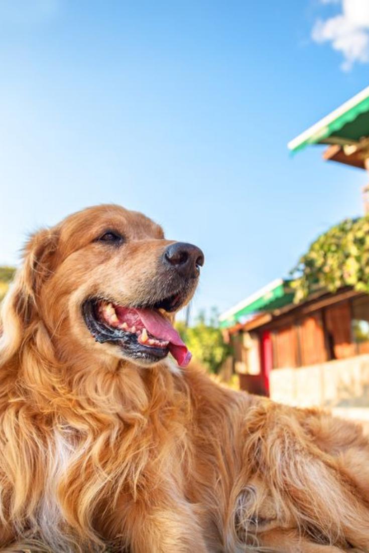 Picture Of A Golden Retriever Goldenretriever Golden Retriever Retriever Dogs