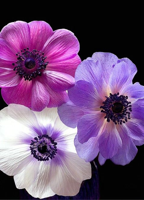 Anemone Pink Purple White Flower With Images Anemone Flower Purple Flowers Pretty Flowers