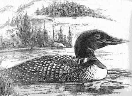 Loon on the lake pencil drawing