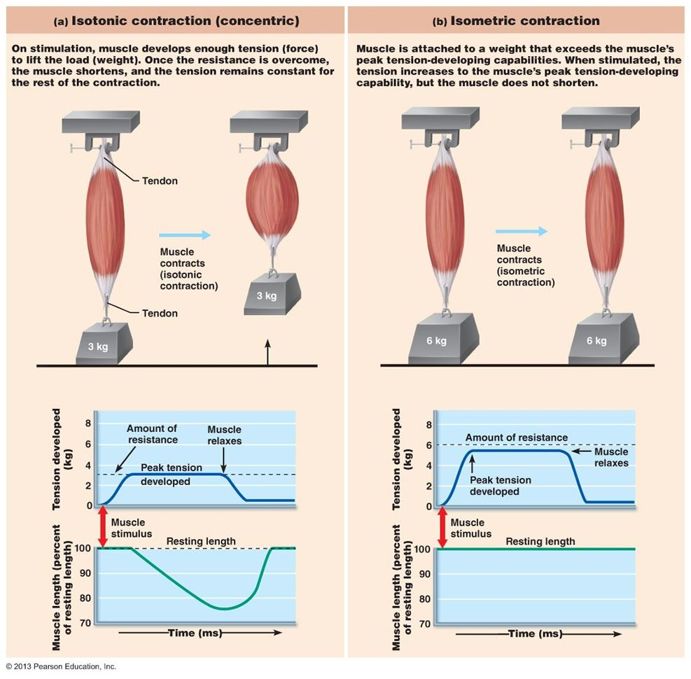 Chapter 9: Muscles and Muscles Tissue   flamdnt   Pinterest   Muscle ...
