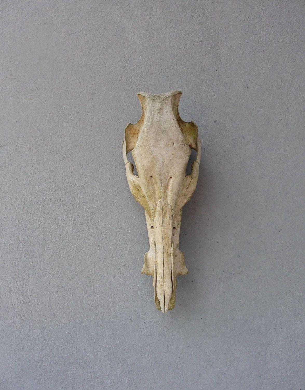 Hog Skull Real Skull, Wild Boar Natural Found Taxidermy Curiosities ...