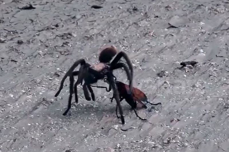 Tarantula v giant wasp: Super-size creepies battle it out to the death - who wins? - http://www.weirdlife.com/tarantula-v-giant-wasp-super-size-creepies-battle-death-wins/