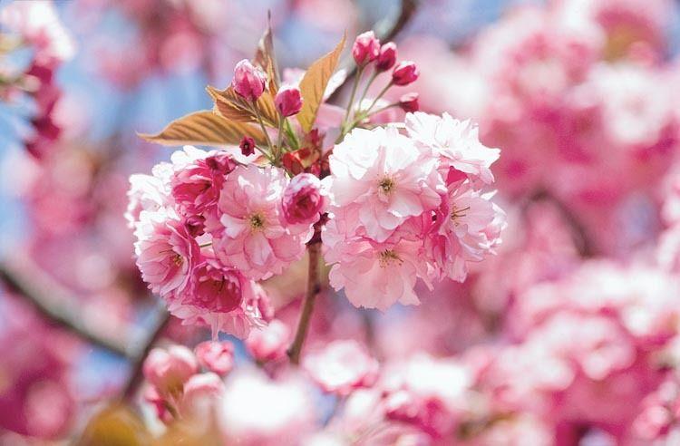 Prunus Kanzan Japanese Flowering Cherry Kanzan Prunus Kwanzan Prunus Sekiyama Flowering Cherry Tree Japanese Flowering Cherry Cherry Tree Varieties