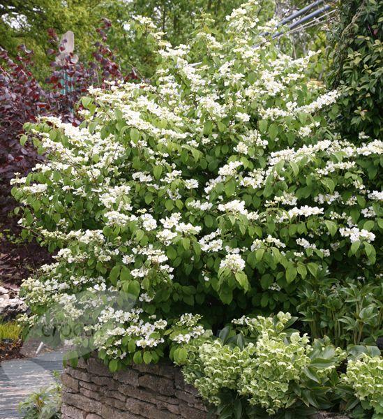 Japanese snowball bush Viburnum plicatum 'Mariesii':