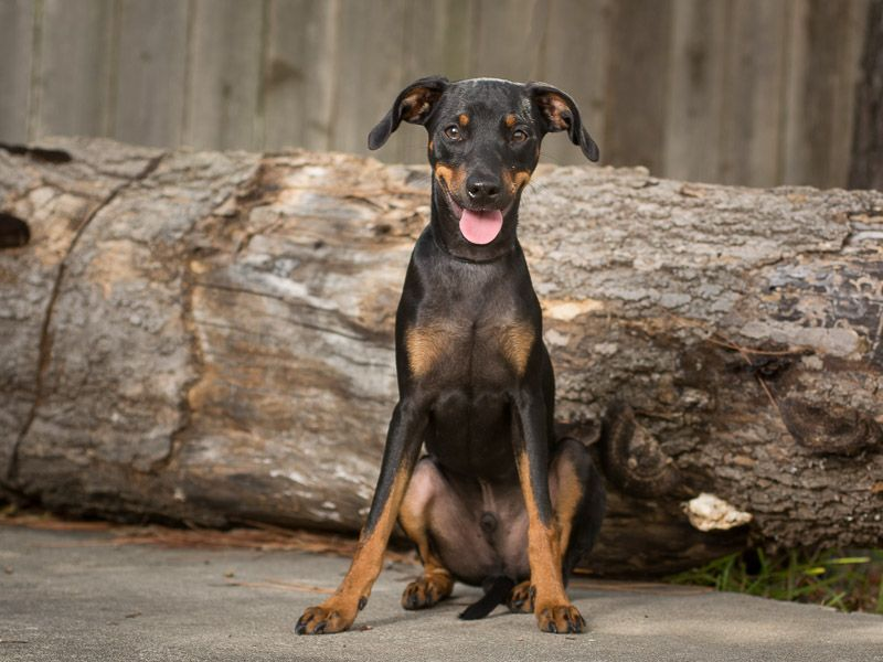 DoxiePin dog for Adoption in League City, TX. ADN667752
