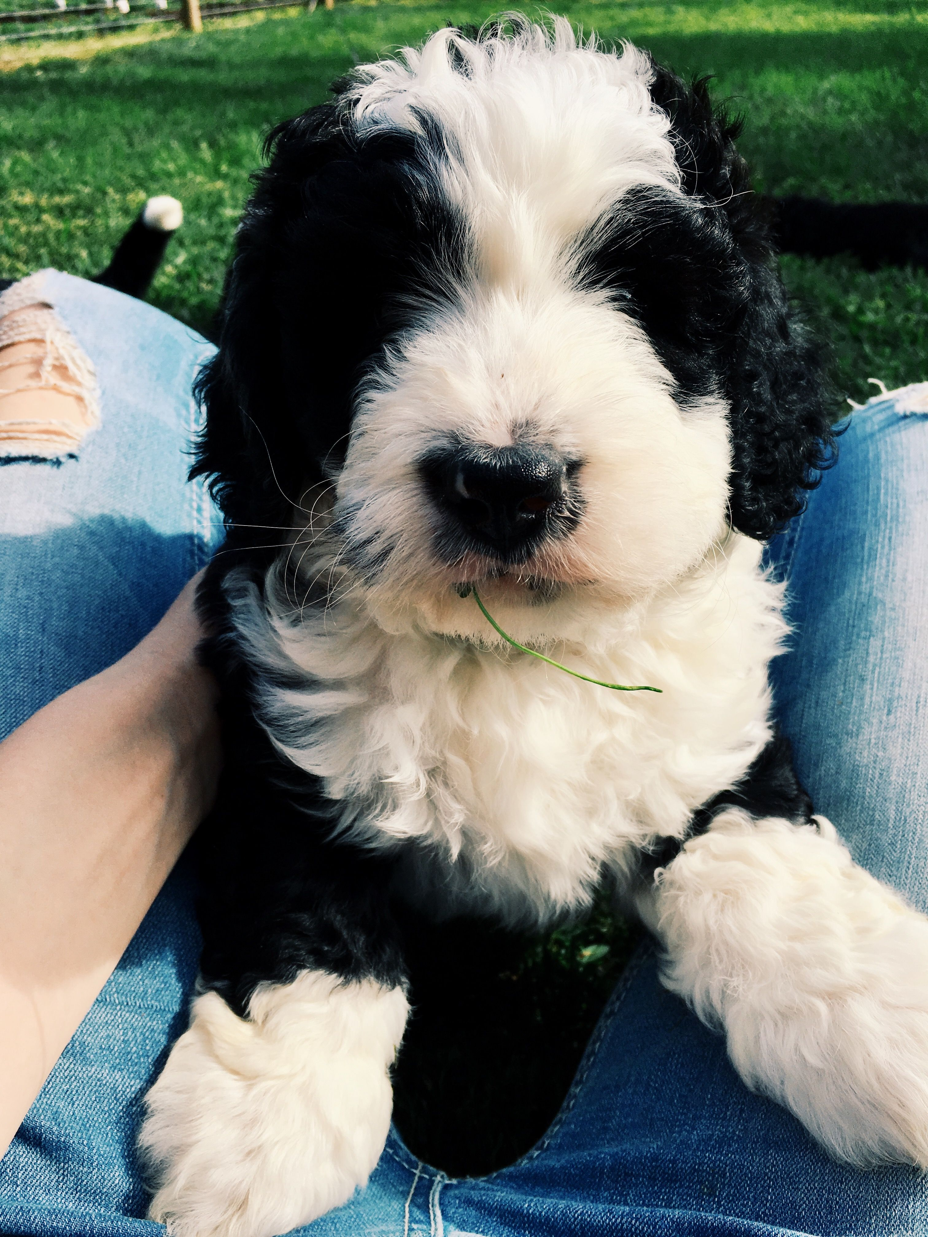 Bernedoodle Puppies For Sale Bernedoodle Puppy Bernedoodle Puppies