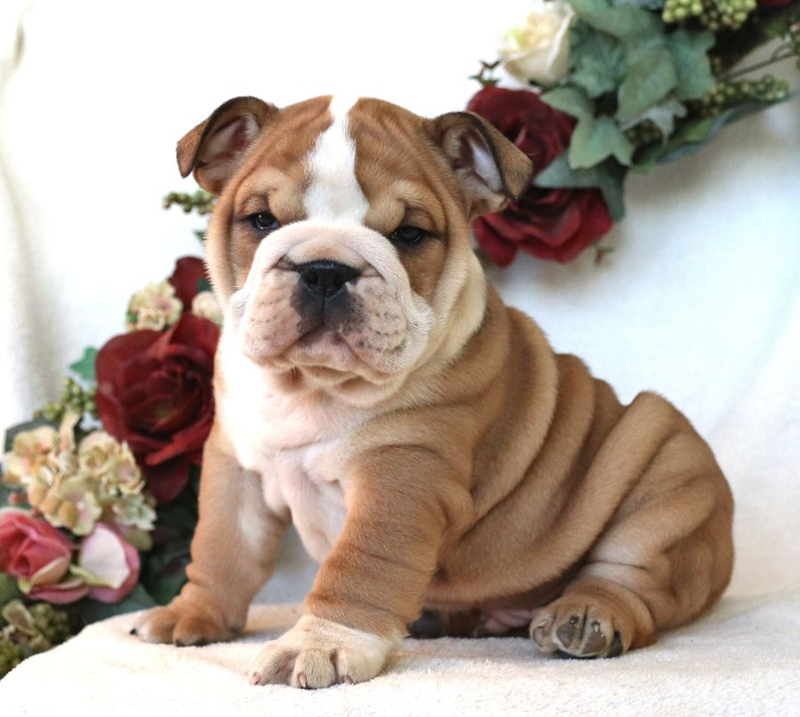 Adorable Englishbulldog Pups These Precious Fur Babies