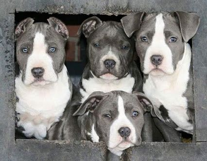 Pit Bull and Bully Breeds - Google+