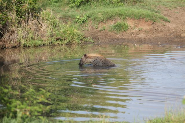 Hyena bathing