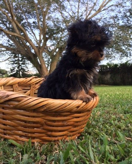 Jimmy Yorkshire Terrier 3 Month Old Yorkie Garden Dog Doggie Pack
