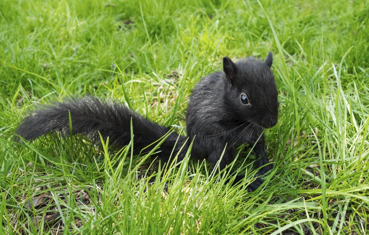 Cute and cool facts about the relatively rare black