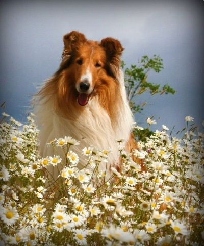 Northern Classic Collies Mason Dogs Collie Collie Dog