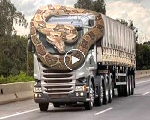 GIANT PYTHON ATTACK CAR – HUMANS ON ROAD.| WATCH V1DE0 - ChimePost