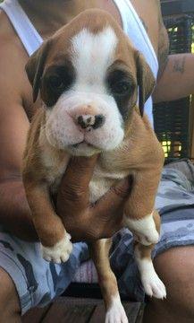 Litter Of 4 Boxer Puppies For Sale In Manassas Va Adn 33156 On