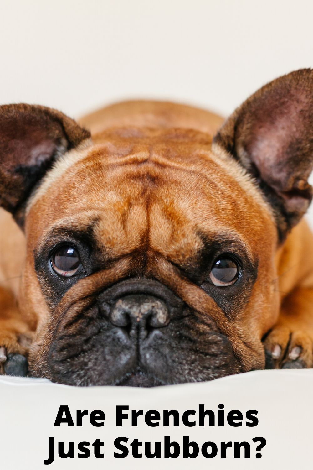 Are French Bulldogs Smart? in 2020 French bulldog