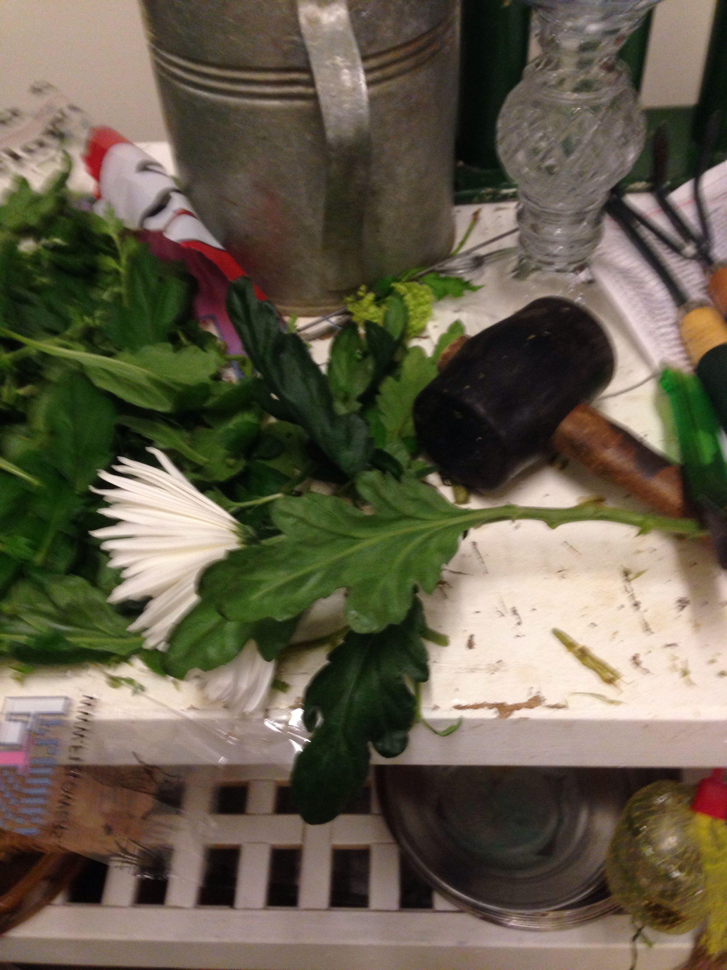 Stelle chrysantemym