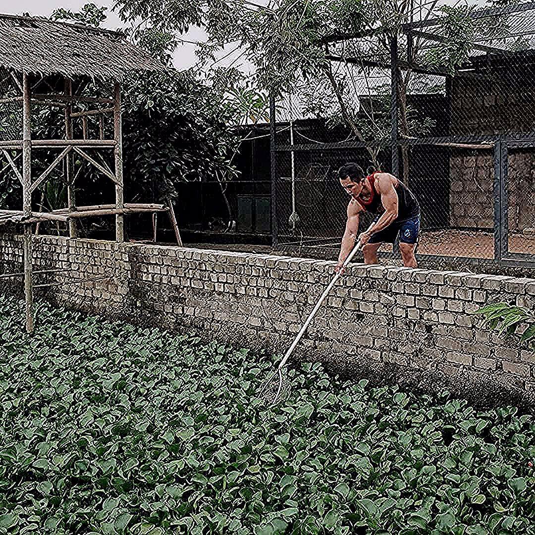 Panen eceng gondok pagi ini. Eceng gondok bisa jadi pakan alami untuk soang-soang  Panen eceng gondok pagi ini. Eceng gondok bisa jadi pakan alami untuk soang-soang disini. . . . . #photography #nature #morning #home #house #bogor #farm #instagood #instamood #influencer #mood #wednesday #vsco #igers #asian #muscle #bicep #arm #gym #fit #fitness #fitnessmotivation