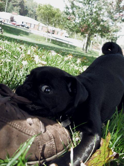 Pittsburgh Pug Bean Pug Puppies Pugs For Sale Puppies