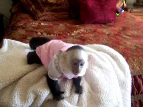Capuchin Monkey Zoey | capuchin - 16.1KB