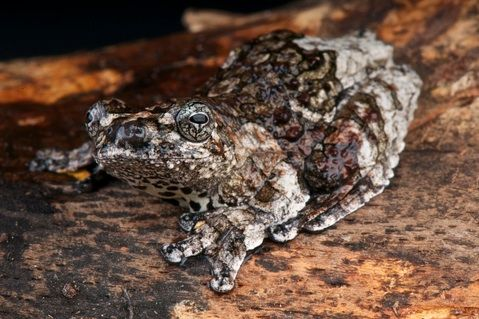 Marbled Tree Frog For Sale Tree Frogs For Sale Tree Frogs Frog