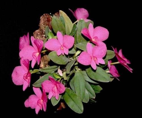 orquídea sophronits wittigiana