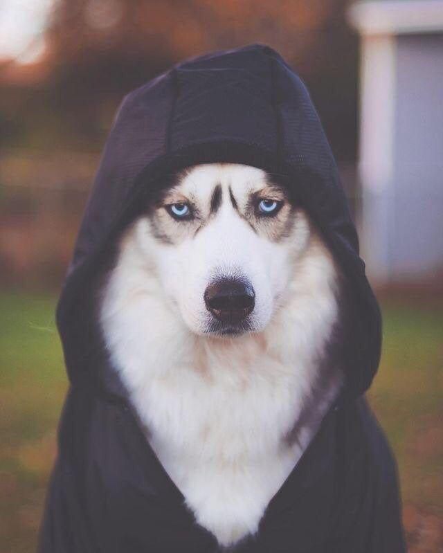 Pin Von Ayat Al Gebouri Auf Spass In 2020 Sibirischer Husky Husky Welpen Husky Hund