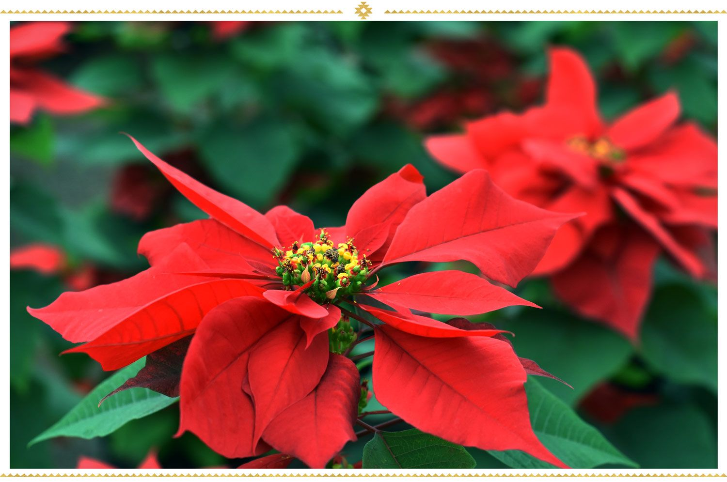 15 Mexican Flowers Symbolism And Where To Find Them Proflowers Blog Mexican Flowers Mexican Sunflower Christmas Plants