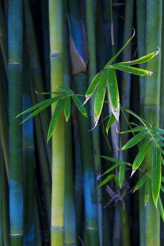 Bamboo Iphone 4s Wallpaper Bamboo Wallpaper Giant Bamboo