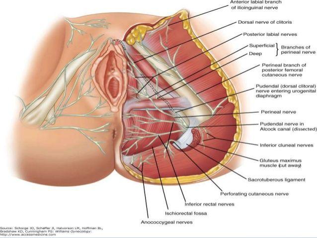 Pelvic floor | PT | Pinterest | Beckenboden, Medizin und Anatomie
