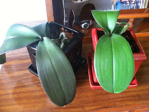 How To Stake An Orchid Learn How To Care For A New Orchid Spike To Make Sure The Blooms Are Spectacular I Love Phalaenops Orchid Roots Growing Orchids Plants