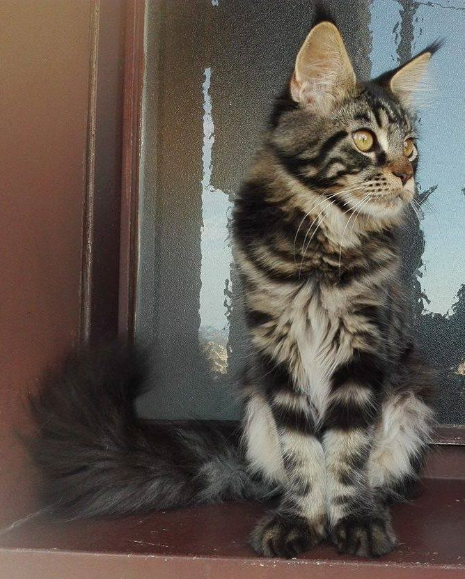 Baloo kitty maine coon cat brown tabby blotched - 6 month old. #mainecoon #mainecoonkitten #cats #kittens #6months #baloo #window