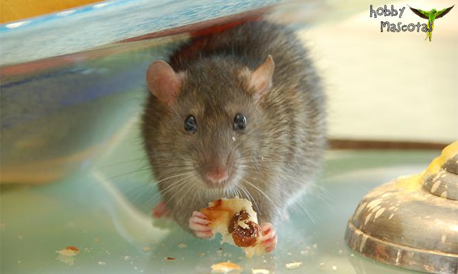 La alimentación de la rata doméstica   Hobby Mascotas