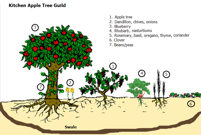 apple tree guilds - Google Search