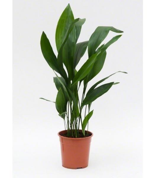kamerplanten online