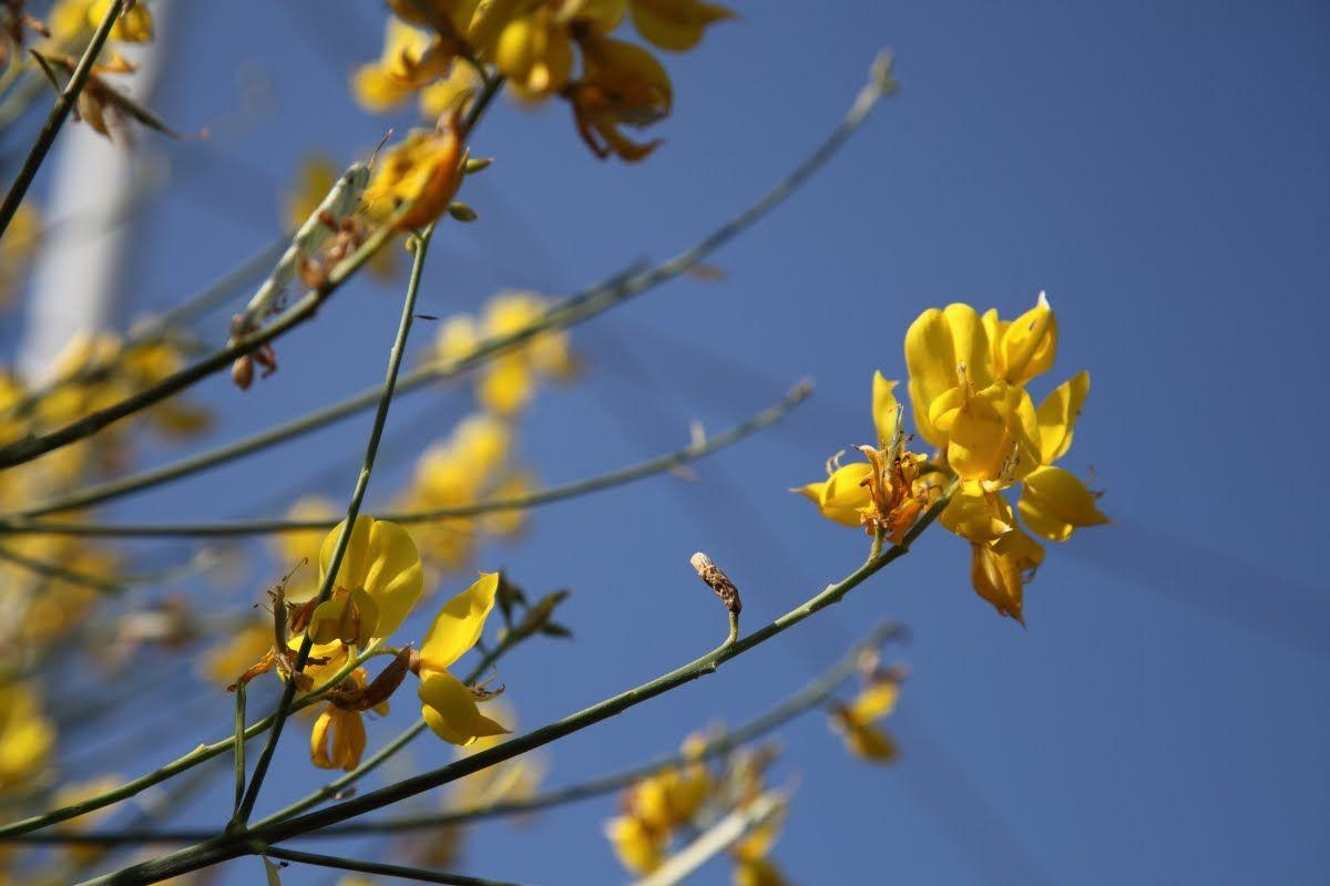 Photo of ginestra comune Spartium junceum
