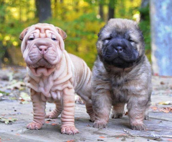 Fantastic Shar Pei Chubby Adorable Dog - b5e6e659b35fdaf6954baaab7433c60e  Photograph_652972  .jpg