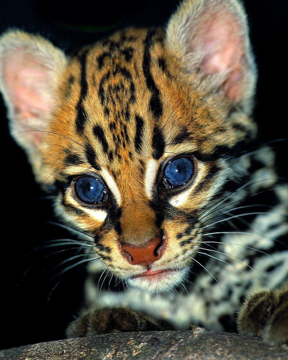 Ocelot Kitten Near Iguitos Peru Animals Wild Wild Cats Animals