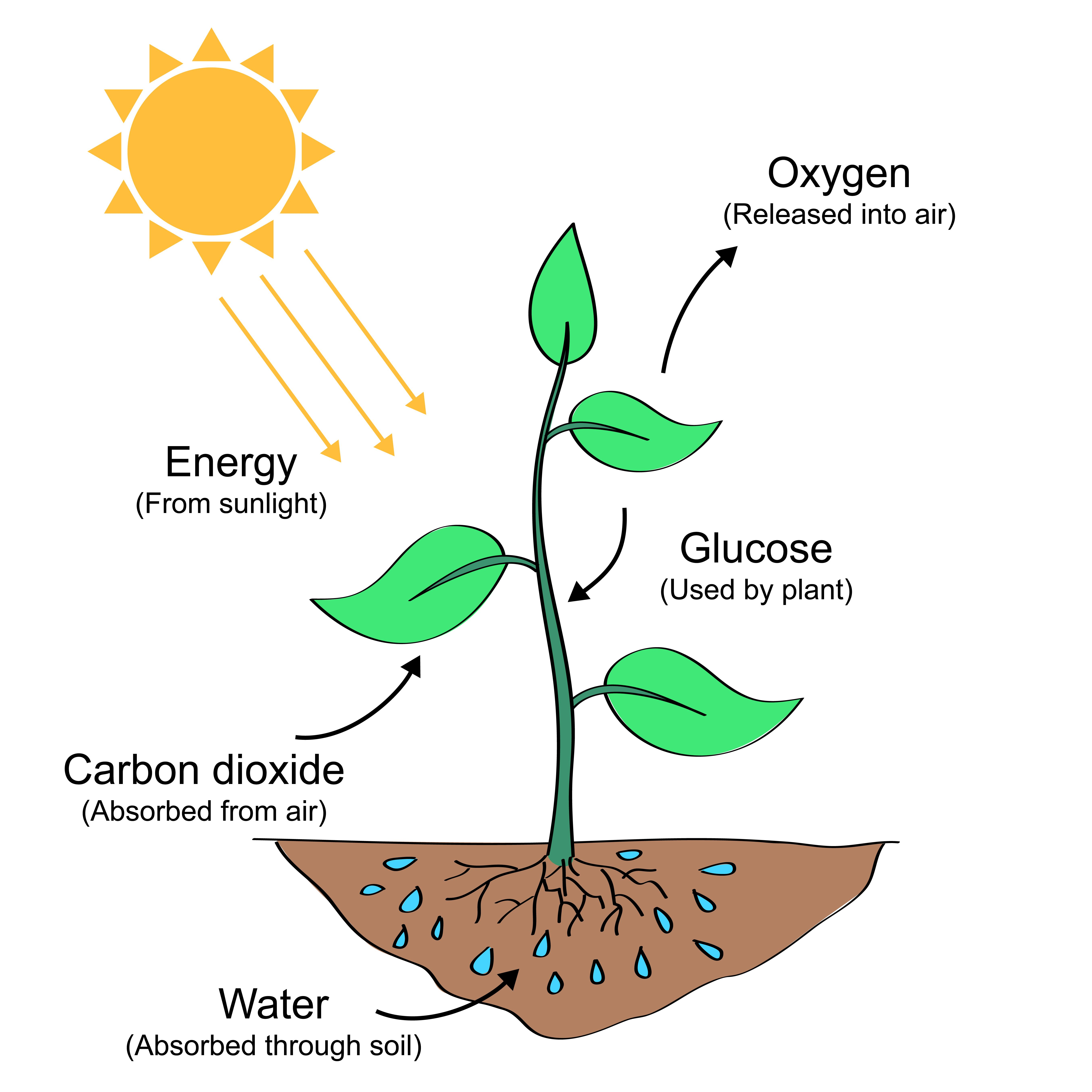 Process Of Photosynthesis Photosynthesis Photosynthesis Activities Photosynthesis Projects