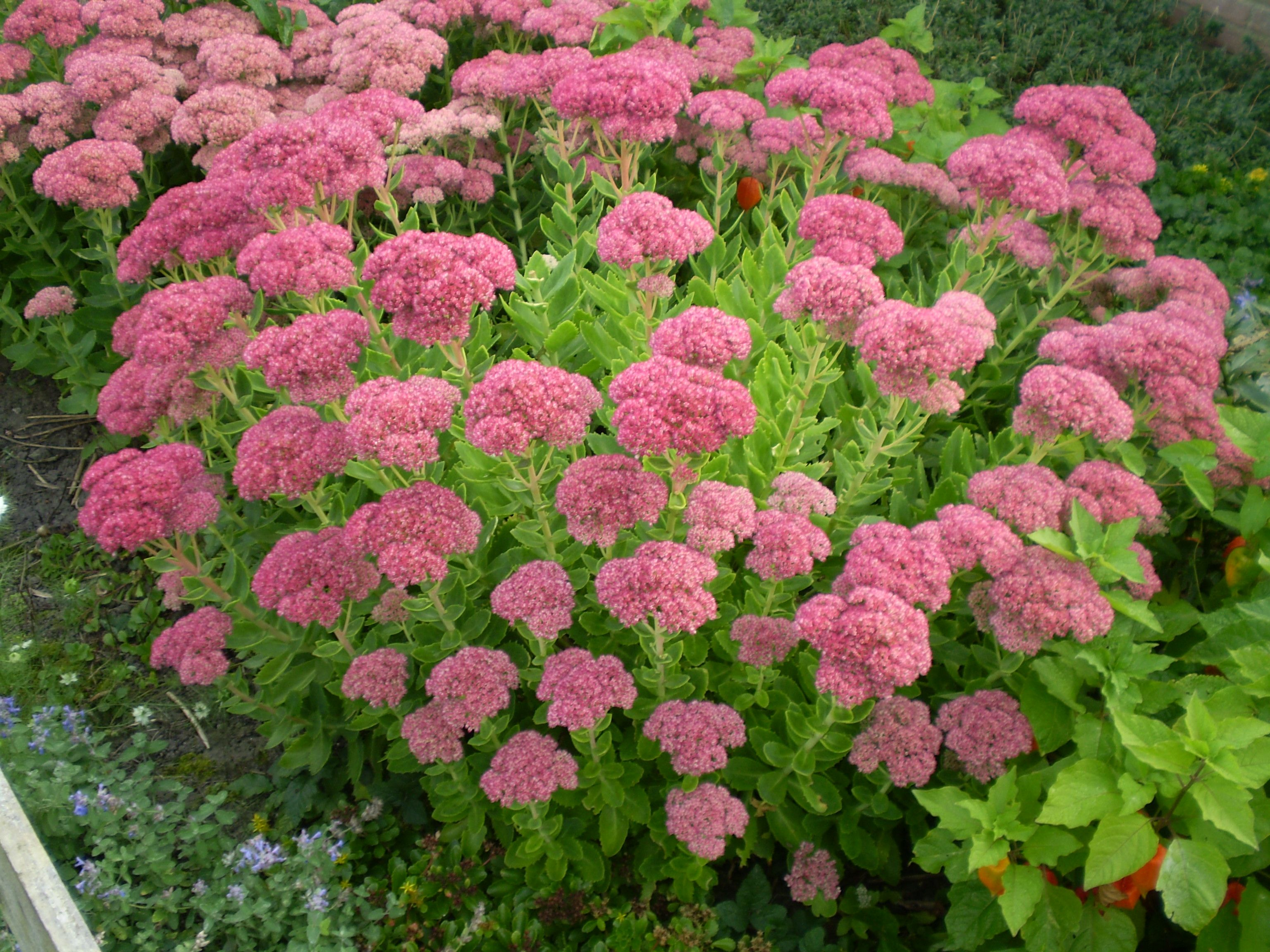 SEDUM spectabile 'Brillant' - Kinesisk Sankthansurt, farve: rosa, lysforhold: sol, højde: 30 cm, blomstring: august - oktober, velegnet til snit, god til bier og andre insekter.