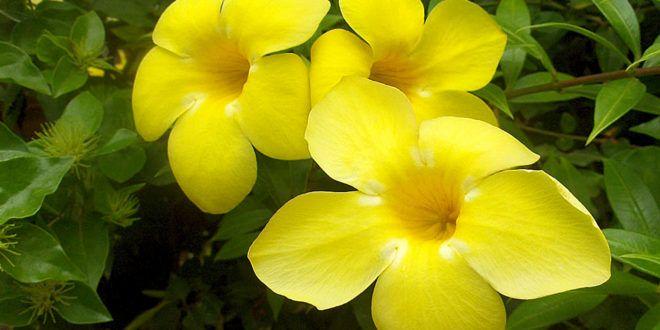 Allamanda Cathartica Pinterest Plants Beautiful Flowers And Gardens