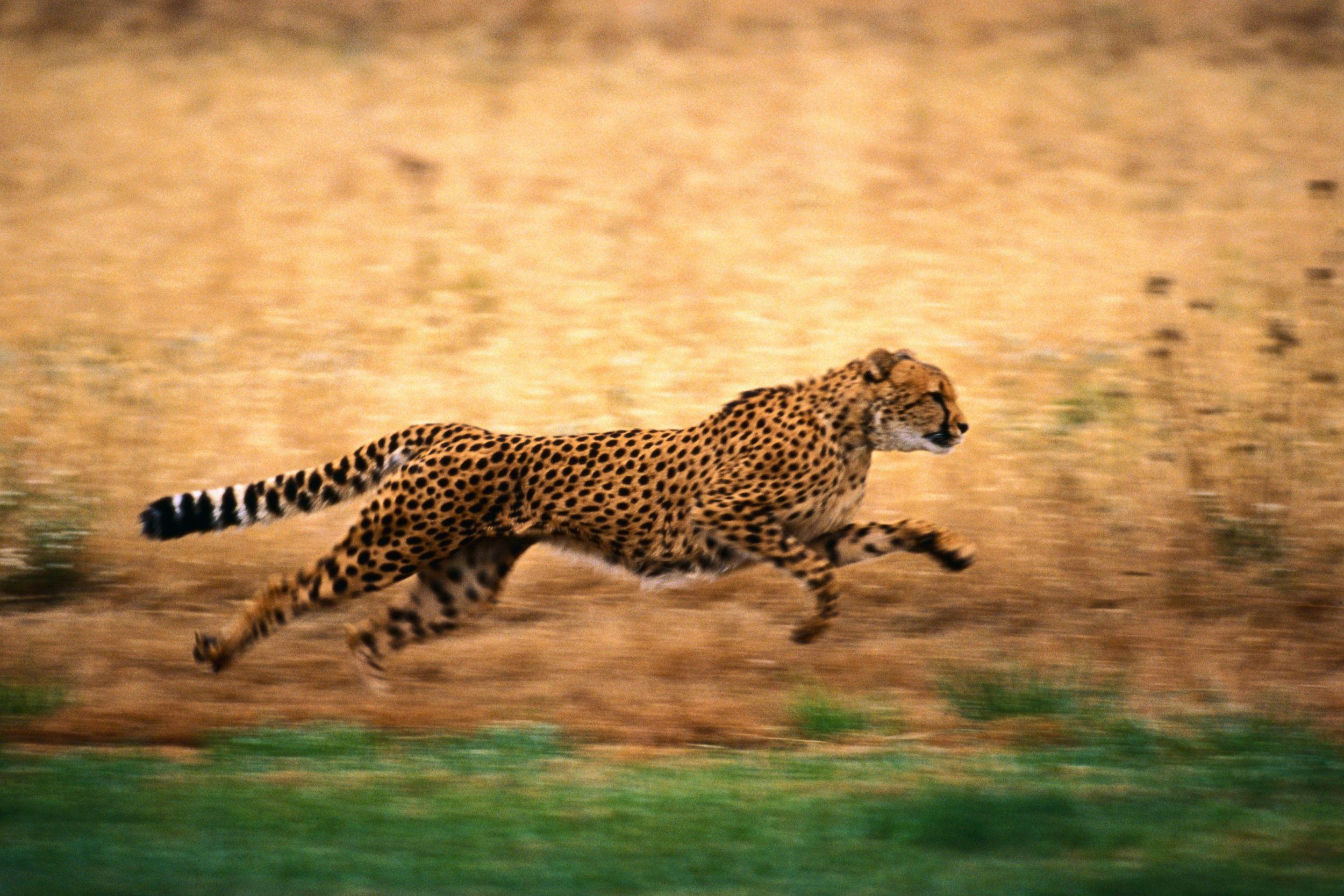 Leopard At Full Speed Big Animals