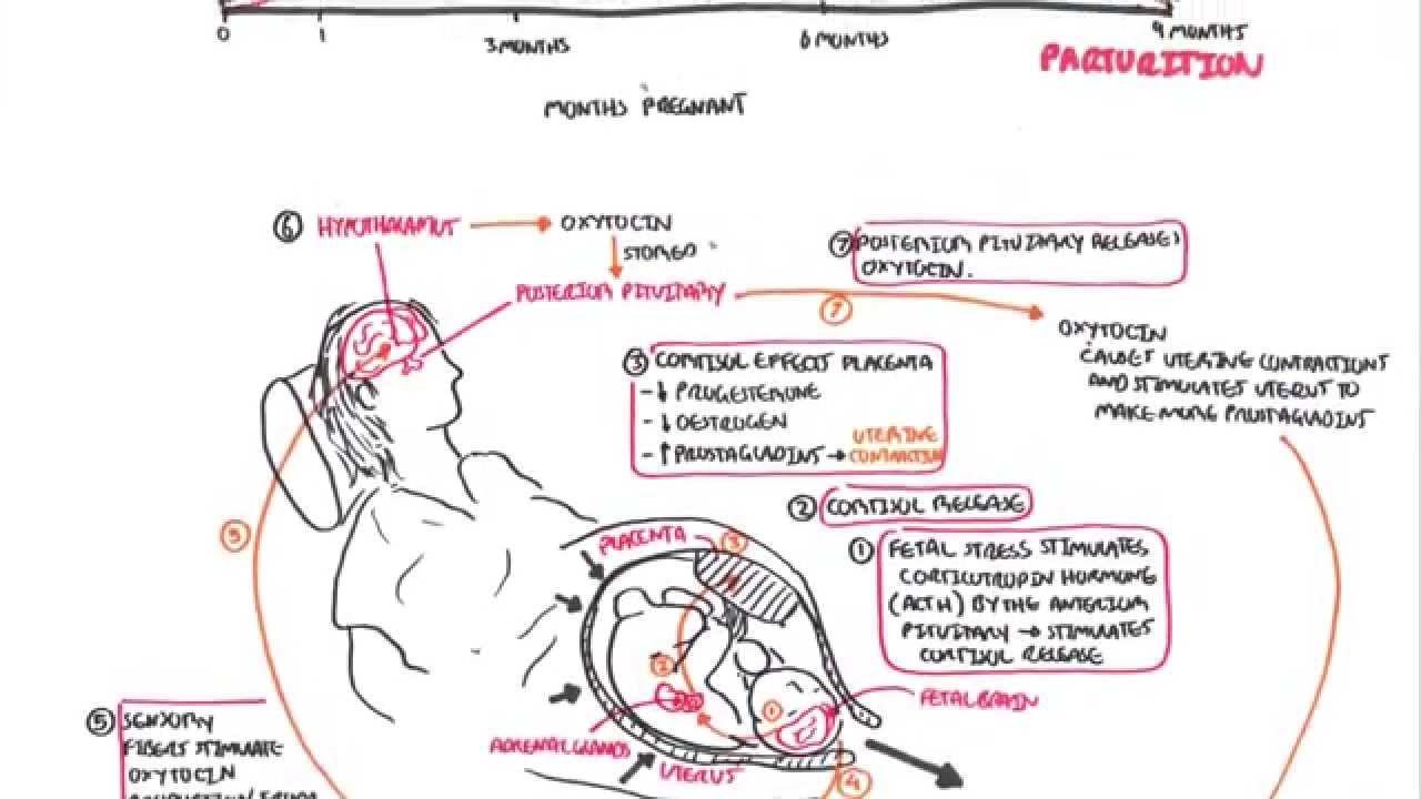 Parturition - Pregnancy, Hormones, Giving Birth | Verlos | Pinterest