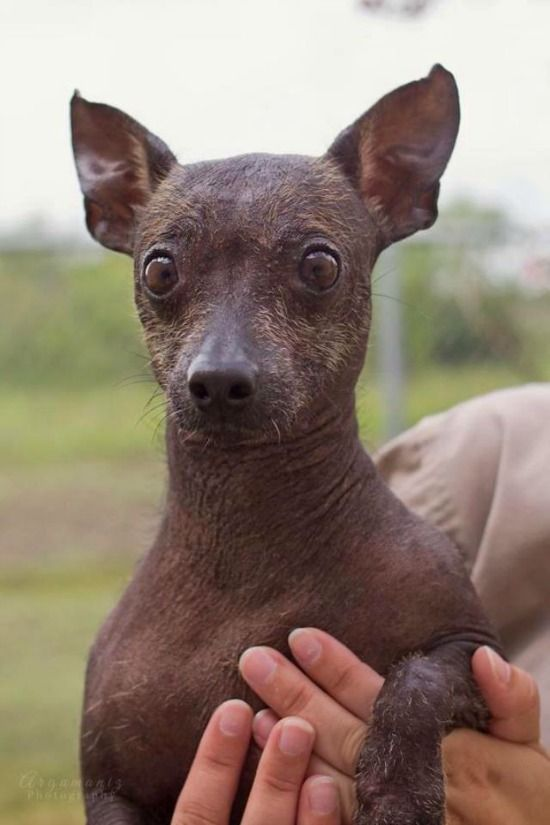 The Xoloitzcuintli Can Be Coated But The Hairless Dogs Give This Breed Their Distinctive And Intriguing Look Hairless Dog Mexican Hairless Dog Xoloitzcuintli