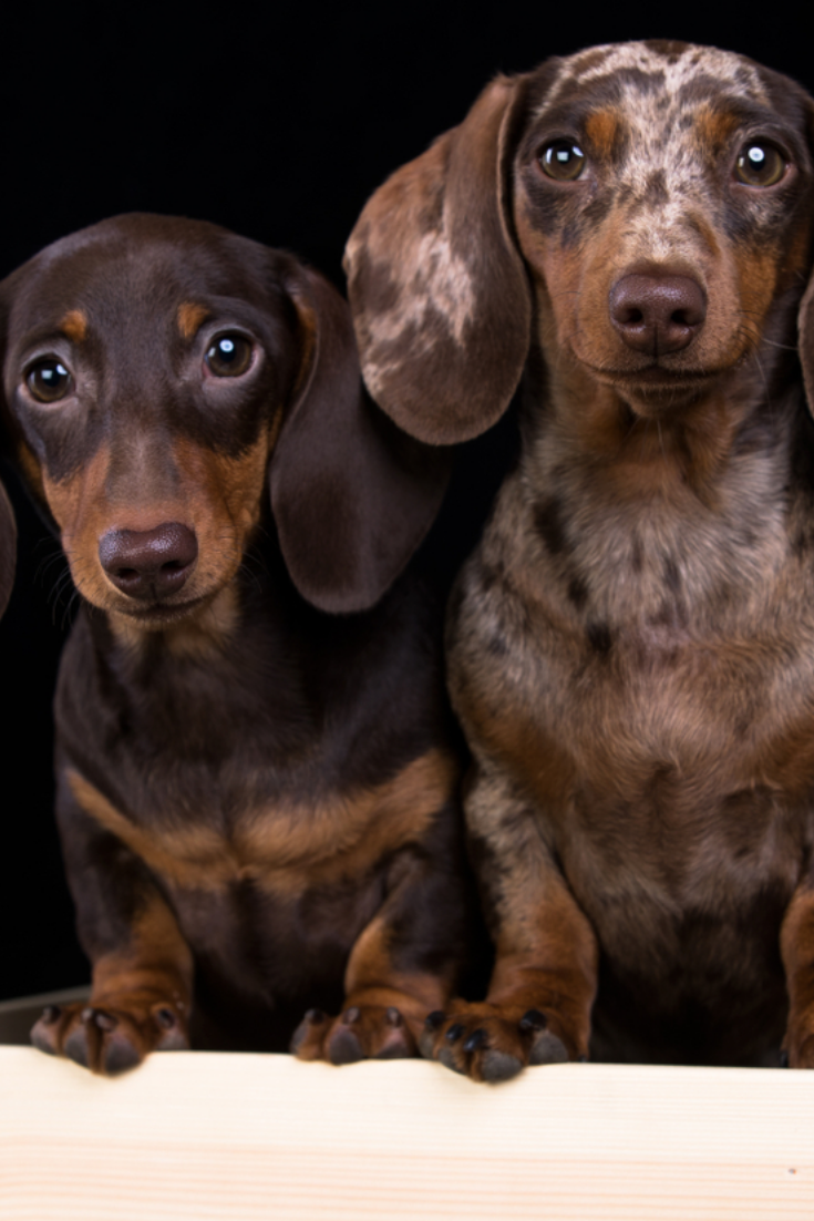 Studio Shot Of An Adorable Magyar Vizsla And A Wire Haired Dachshund Mix Dog Isolated On White Backgrou Dapple Dachshund Dachshund Dachshund Puppy Miniature